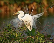 Plumes Prints - Beautiful Great White Egret at Dusk Print by Sabrina L Ryan