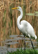 Egret Metal Prints - Beautiful Great White Egret Metal Print by Sabrina L Ryan