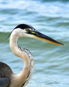 Gulf Coast Birds Posters - Beautiful Heron Poster by Richard Roselli