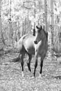 Fall Photos Prints - Beautiful Horse in Black and White Print by James Bo Insogna