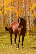 Ranch Prints - Beautiful Horse in the Autumn Aspen Colors Print by James Bo Insogna