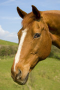 Blaze Prints - Beautiful Horse Portrait Print by Meirion Matthias