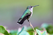 Beautiful Hummer Print by Laura Oakman