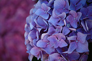 Ornamental Plants Posters - Beautiful Hydrangeas Poster by Karen M Scovill