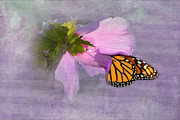 Danaus Plexippus Prints - Beautiful in Pink Print by Betty LaRue