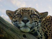 Beautiful Jaguar Print by Sandy Keeton