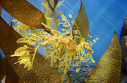 Leafy Sea Dragon Posters - Beautiful Leafy Sea Dragon Poster by Brooke Roby