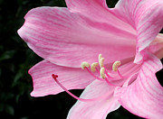Textured Floral Framed Prints - Beautiful Lily in Pink Framed Print by Kaye Menner