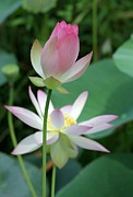 Lotus Bud Prints - Beautiful Lotus Blooming Print by Sabrina L Ryan