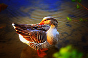 Goose In Water Posters - Beautiful Lucy Poster by Olahs Photography