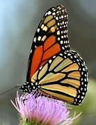 Marty Koch - Beautiful Monarch
