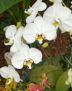 Barbara Anna Knauf Posters - Beautiful Orchid Poster by Barbara Anna Knauf