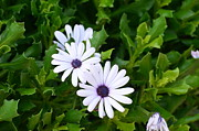 Asti Photos - Beautiful Osteospermum Asti White Daisy by Carrie Munoz