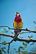 Molly Heng - Beautiful Parrot
