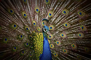 Pheasant Originals - Beautiful Peacock  by Anek Suwannaphoom
