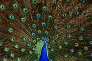 Zoo Metal Prints - Beautiful Peacock Metal Print by Larry Marshall