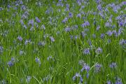 Honshu Photos - Beautiful Picture Of Irises In Bloom by George F. Mobley