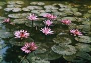 Water Gardens Framed Prints - Beautiful Pink Lotus Water Lilies Bloom Framed Print by W. Robert Moore