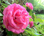 Padre Art Photos - Beautiful Pink Rose by Padre Art