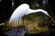 Great Egret Framed Prints - Beautiful Plumage Framed Print by Kenneth Albin