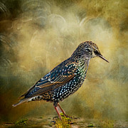 Starlings Metal Prints - Beautiful Plumage Metal Print by Sandra Pledger