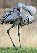 Sandhill Cranes Framed Prints - Beautiful Preening Sandhill Crane Framed Print by Carol Groenen