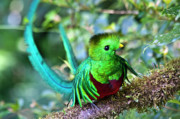 Exotic Bird Prints - Beautiful Quetzal 5 Print by Heiko Koehrer-Wagner