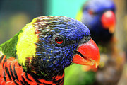 Bitner Prints - Beautiful Rainbow Lorikeet Print by Mariola Bitner