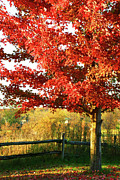 Vibrant Posters - Beautiful red maple tree  Poster by Sandra Cunningham