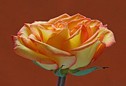 Rose Prints - Beautiful Rosa Print by Juergen Roth