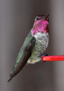Tiny Bird Photos - Beautiful Ruby-Throated Hummingbird by Carol Groenen
