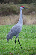 Sandhill Crane Framed Prints - Beautiful Sandhill Crane Framed Print by Carol Groenen