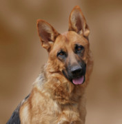 Alsatian Photos - Beautiful by Sandy Keeton