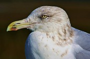 Beautiful Sea Gull Print by Paulette  Thomas
