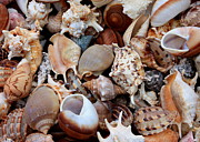Sea Shell Prints - Beautiful Seashells Print by Carol Groenen