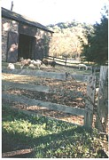 Thelma Harcum - Beautiful Sheep Near Barn