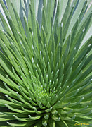 Spiney Posters - Beautiful Silversword close up Poster by Frank Wicker