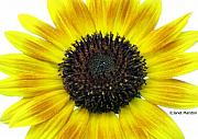 Janet Marston - Beautiful Sunflower