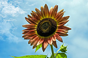 Susan Leggett Prints - Beautiful Sunflower Print by Susan Leggett
