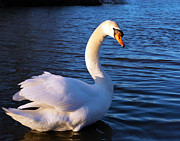 River Digital Art Originals - Beautiful Swan by Gordon Dean II