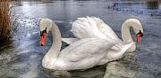 Frozen Lake Photos - Beautiful Swans by Svetlana Sewell