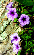 Violet Photo Metal Prints - Beautiful Violets Metal Print by Susie Weaver