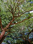 North Shore Prints - Beautiful Waimea Trees Print by Elizabeth Hoskinson
