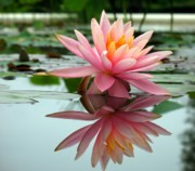 Symmetry Art - Beautiful Water Lily in a Pond by Yali Shi