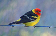 Tanager Originals - Beautiful Western Tanager by Adrienne Smith