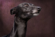 Whippet Dog Framed Prints - Beautiful Whippet Dog Framed Print by Ethiriel  Photography