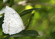 Angelic Posters - Beautiful White Morpho Butterfly Poster by Sabrina L Ryan