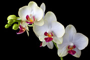 Pretty Orchid Posters - Beautiful White Orchids Poster by Garry Gay