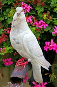 Mariola Prints - Beautiful White Pigeon Print by Mariola Bitner