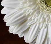 Gerber Daisy Art - Beautiful Whiteness by Marsha Heiken